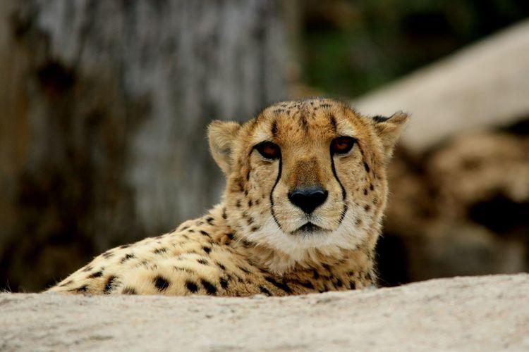 EyeEm Selects Cheetah Leopard Portrait Looking At Camera Safari Animals Animals Hunting Close-up