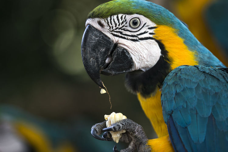 Close-up of a parrot eating corn