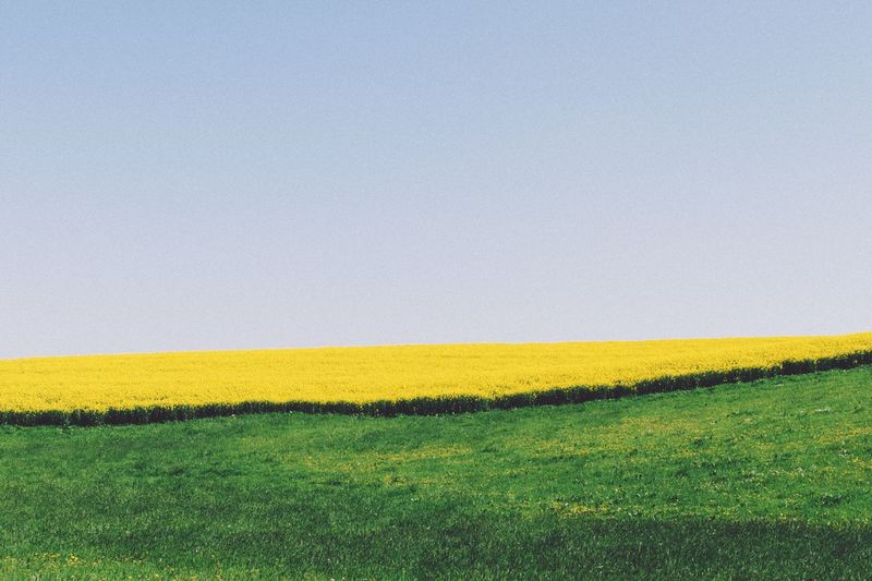Yellow flowers growing on field against clear sky