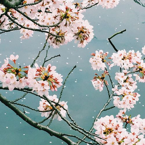 some more Sakura Cherry Blossoms In Bloom by the water. 水辺の桜