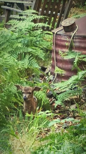 Grass One Animal Green Color Deer Phonecamera Fawn Occidental Outdoors No People