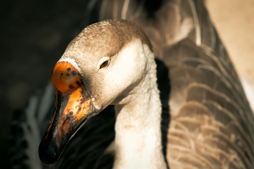 Animal Body Part Animal Head  Animal Markings Animal Themes Beak Close-up Feather  Focus On Foreground Ganso Goose Nature Outdoors Selective Focus The Great Outdoors - 2016 EyeEm Awards Nature's Diversities