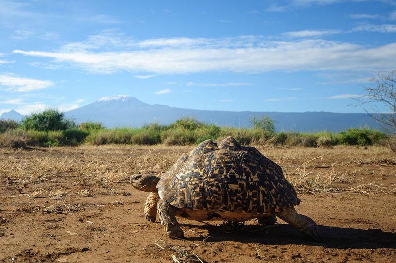 Giant tortoise on field by mt kilimanjaro against sky