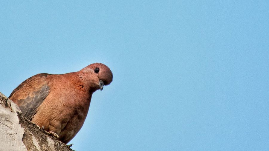 Low angle view of mourning dove perching against clear blue sky