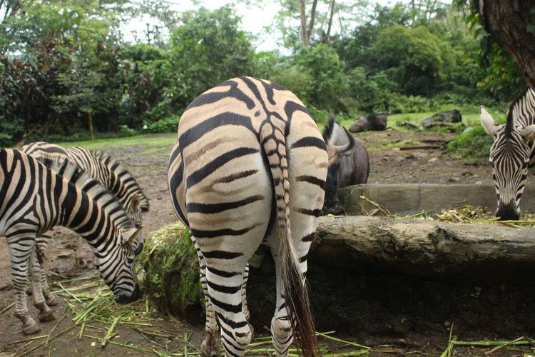 Zebra at Taman
