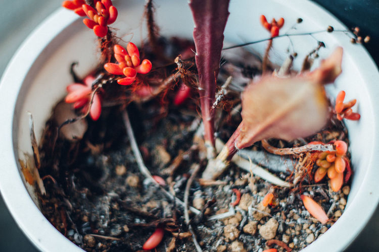 High angle view of potted plants in bowl - red succlets