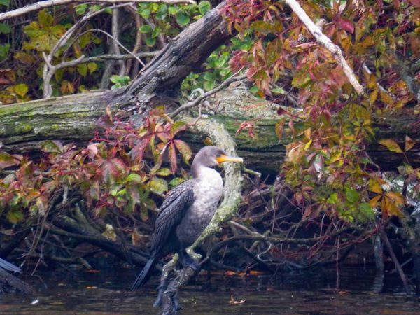 Cormorant perched atop a bare tree branch birdwatching Birds of EyeEm autumn leaves 🍁 beauty in nature Animal Themes Bird Tree One Animal No People