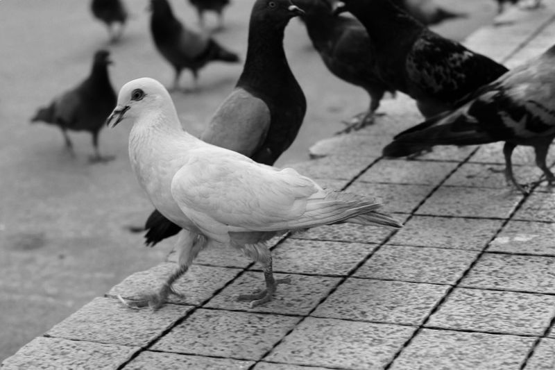 Close-up of pigeon perching on footpath
