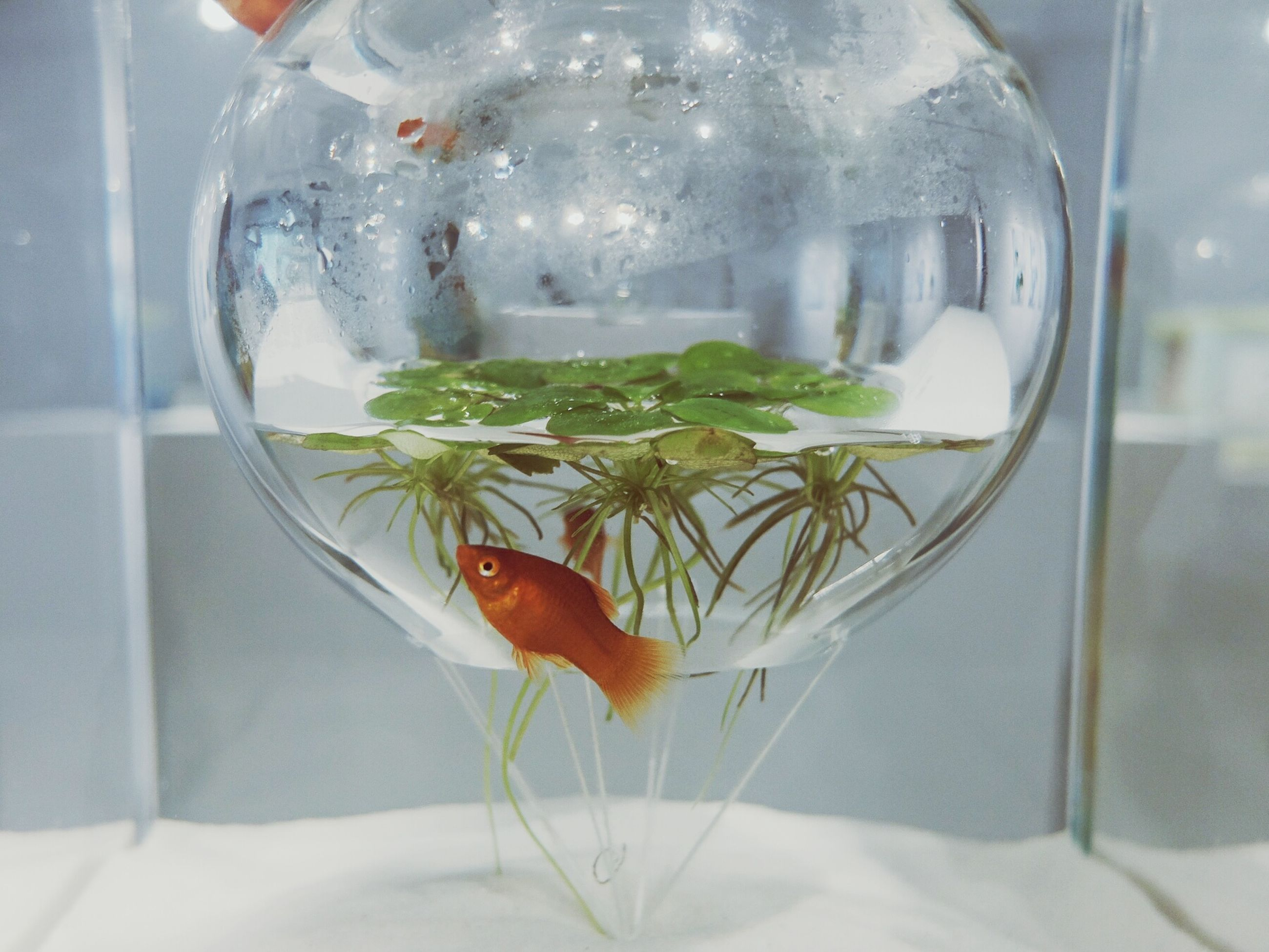indoors, food and drink, glass - material, transparent, table, freshness, animal themes, drink, healthy eating, refreshment, drinking glass, food, glass, close-up, window, water, one animal, focus on foreground, fish, spoon