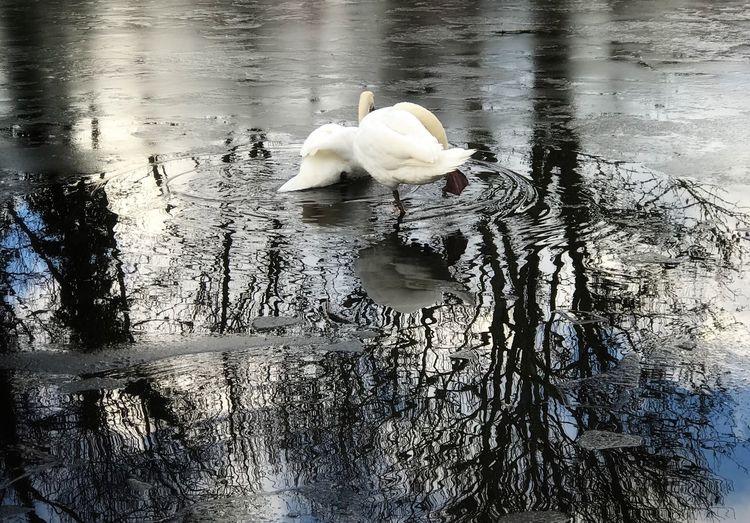Swans On Ice Ice Bird Water Animals In The Wild Animal Themes Animal Wildlife Swan Lake Reflection