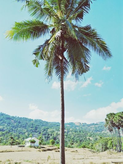 Tree Palm Tree Beach Tree Trunk Rural Scene Sky Plant