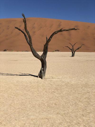 Bare tree on sand dune
