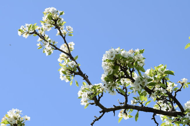 The Purist (no Edit, No Filter) Tree Flower Nature Blue Sunny Blossom Beauty In Nature Low Angle View Branch Sky Growth Clear Sky Day Fragility Springtime No People Outdoors Leaf Freshness Flower Head Pear Blossom Leaves🌿