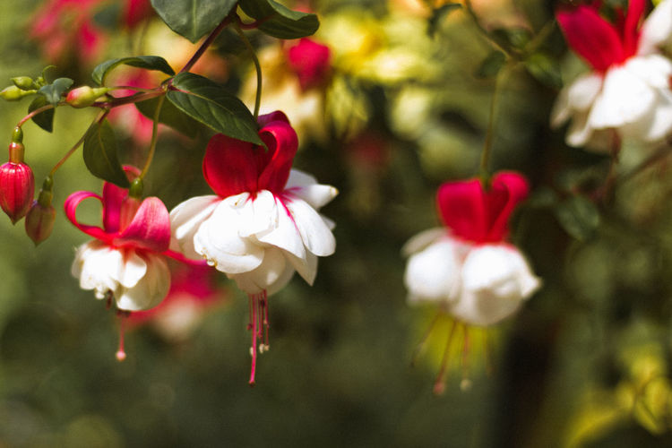 Close-up of red flowers blooming outdoors