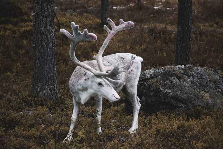 Reindeer standing amidst trees in forest