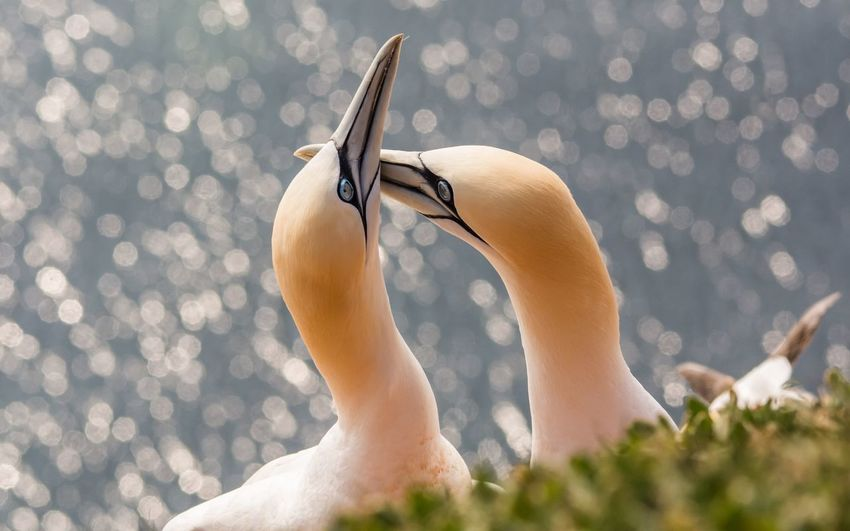 Close-up of gannets on field