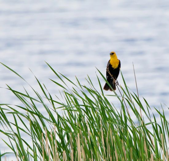 Close-up of bird perching on grass by lake