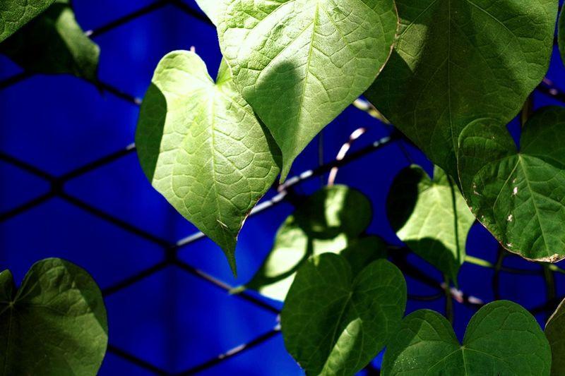 Creative Light And Shadow 中午的阳光热烈的不行啊!绿更绿,蓝更蓝。 蓝色 绿色 植被 网格 树叶 树荫 Hi! 夏天