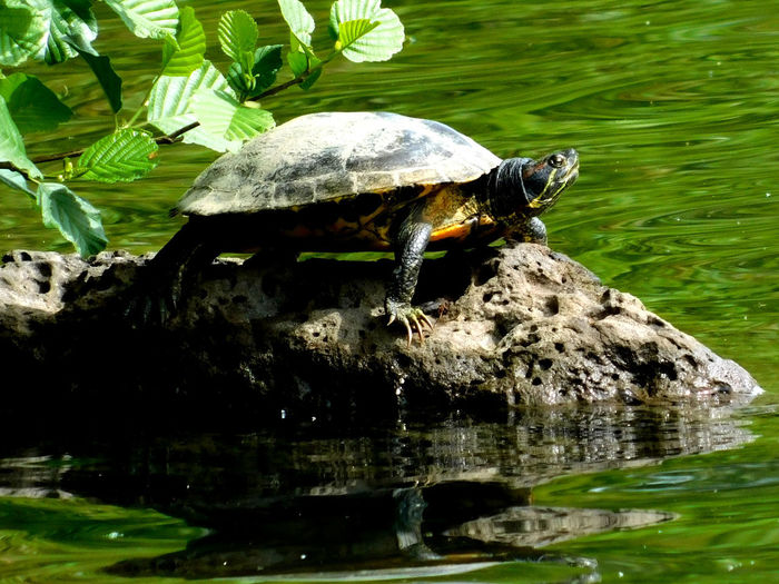 Close-up of turtle on rock by lake
