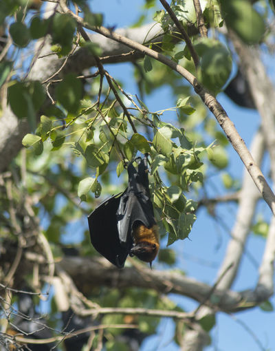Bat Flying Tree Fox Bats Nyctalus Hanging Vampire Noctula Animal Nature Park Rainforest National Tropical Forest Wild Wildlife Black Mammal Wing Common Noctule Fruit Kakadu Branch Australia Pteropus Outdoor Day ASIA Wilderness Scary Hang Rodent Nocturnal Upside Roosting Northern Australian Beautiful