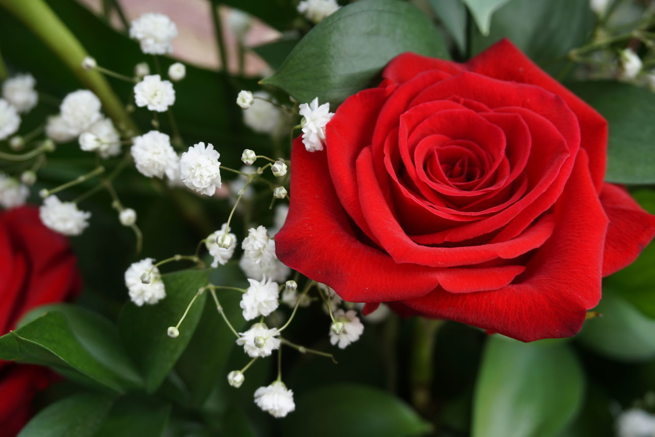 CLOSE-UP OF ROSE BOUQUET ON RED ROSES