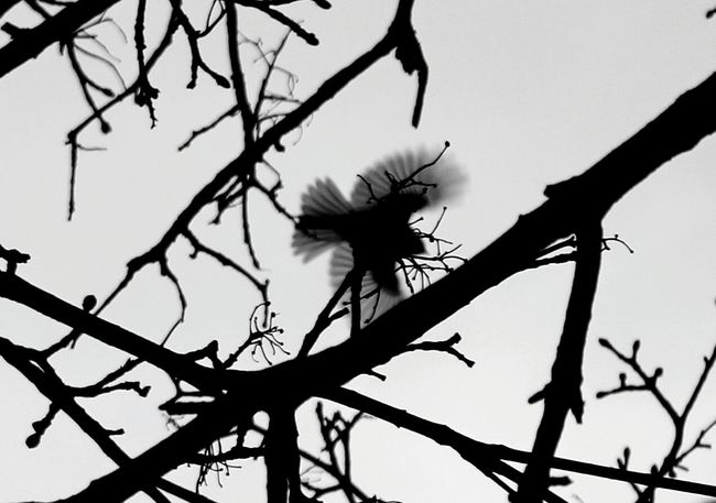 Branch Silhouette No People Low Angle View Nature Outdoors Day Close-up Sky Outdoors. Rochester, NY Popular Photo Rochesterphotographer Rochesternewyork Tree Nature Check This Out The Week Of Eyeem Rochester Hello World Black And White Bird Birds🐦⛅ Birds Of EyeEm  Birds_collection