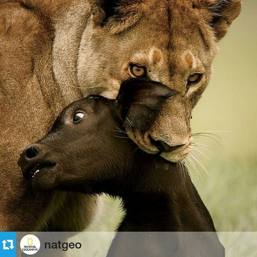"""This reflect the brutality of some and vulnerability of others Repost @natgeo ・・・ Image by @beverlyjoubert This image is included in National Geographic's Women of Vision exhibition currently open at the Palm Beach Photographic Centre in downtown West Palm Beach, FL. In the summer months during buffalo calving season, this lioness saw an opportunity for an easy kill and took it. """"It's never easy to sit and wait for the lions to attack another animal. The only way I can protect myself is through the lens. The lens diffuses the emotion until you stop taking the image. Then you watch the moment again and have respect for the life. Instead of celebrating I say 'I got the shot'. That is the only way I have managed to release those tragic moments we witness over and over in the field."""" Wov Womenofvision Beverlyjoubert greatnature predator lions circleoflife"""