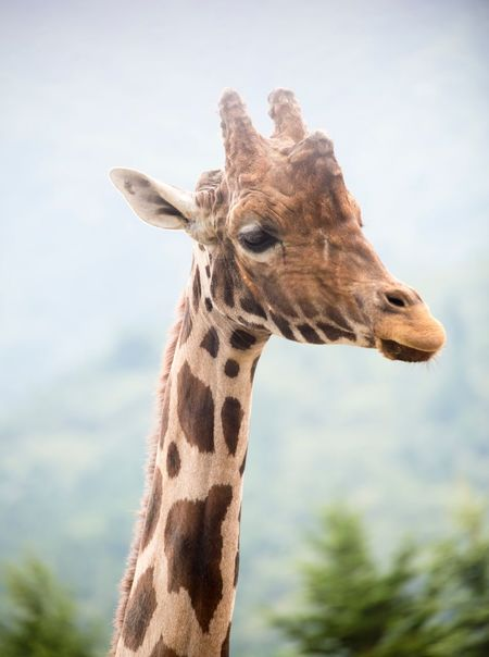 Giraffe One Animal Animal Themes Animals In The Wild Animal Wildlife Mammal Day Safari Animals Focus On Foreground No People Low Angle View Outdoors Nature Close-up Animal Markings Portrait Sky