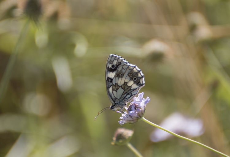 marbled white Butterfly ❤ Melanargia Galathea Butterfly Butterfly - Insect Butterfly Collection Insect Marbled White