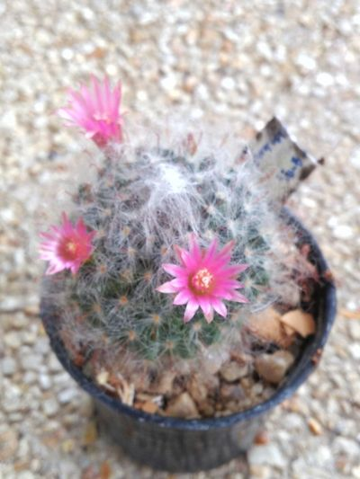 High angle view of pink flower on cactus