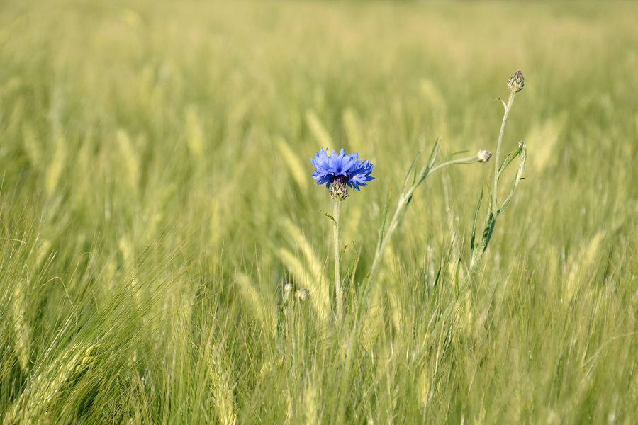Cornflower in wheat field Agriculture Bachelor Buttons Beauty In Nature Blue Flowers Centaurea Cyanus Close-up Cornflower Crop  Day Field Flower Flower Head Fragility Freshness Grass Growth Nature No People Outdoors Plant Wheat Wheat Field