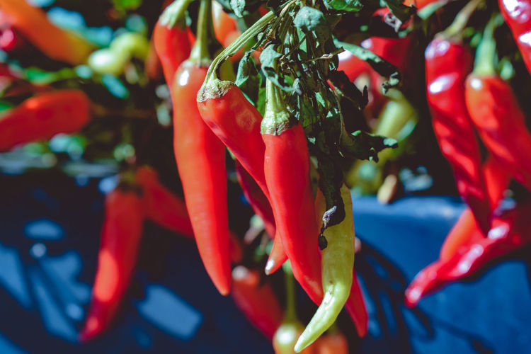 Close-up of red chili peppers on plant