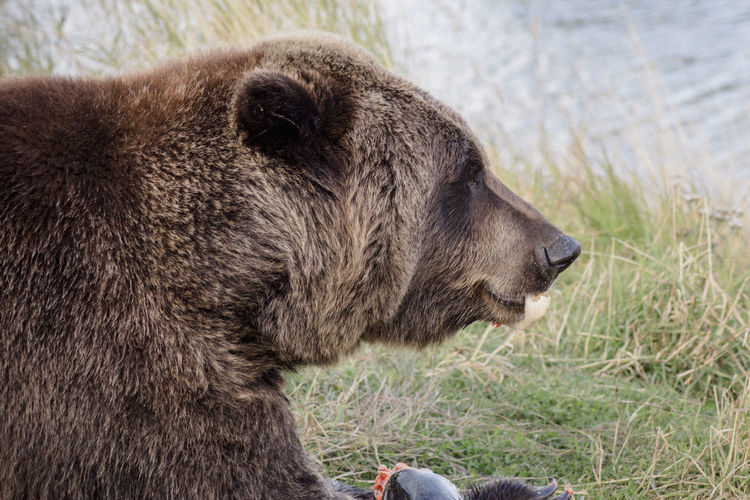 Close-up of bear on field