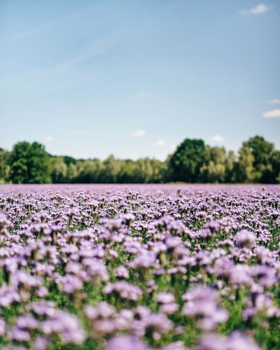 - Purple dream field - Flower Growth Nature Field Plant Selective Focus Abundance Beauty In Nature Landscape Tranquility Fragility No People Outdoors Day Sky Close-up Freshness Tree Flower Head EyeEm Nature Lover EyeEm Best Shots EyeEm Best Shots - Landscape Landscapes Blossoms  Blooming