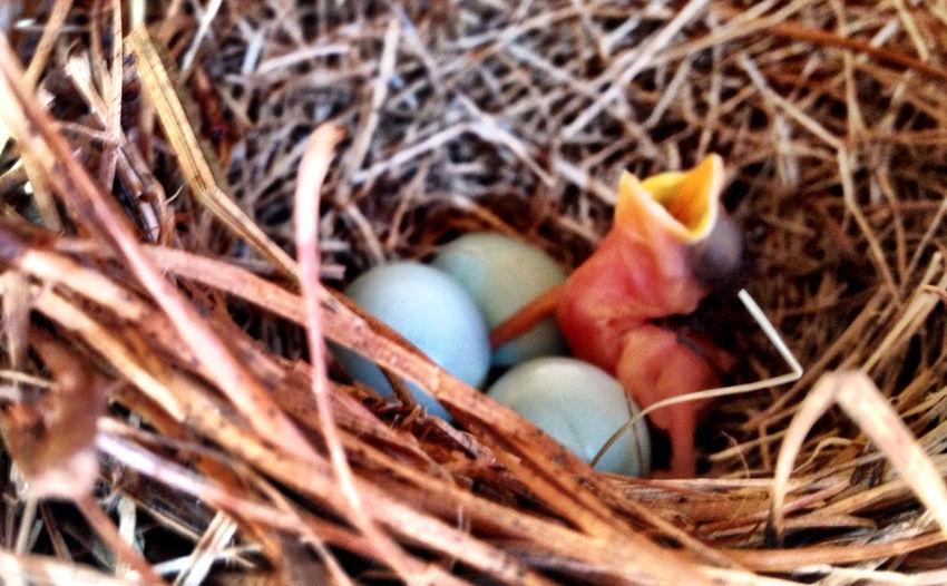 First bluebird egg hstched