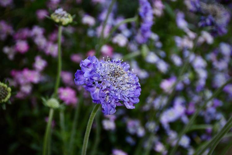 Purple Flower Botany Freshness Purple Flower Head Close-up Day Lavender EyeEm Best Shots EyeEm Nature Lover EyeEm Flower Scabious Scabious Seeds