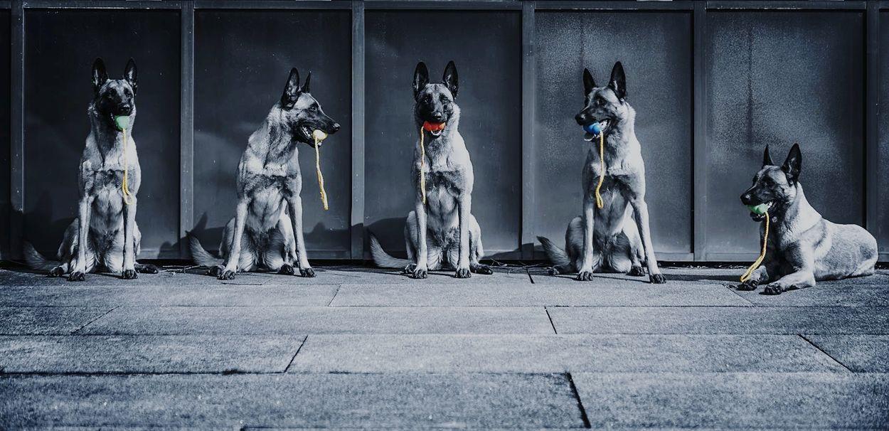 Colorkey Dogs Dogoftheday Dogs Of EyeEm Dog Photography Malinois Malinoislovers Malinois Dog Double Exposure Kong Day Outdoors No People