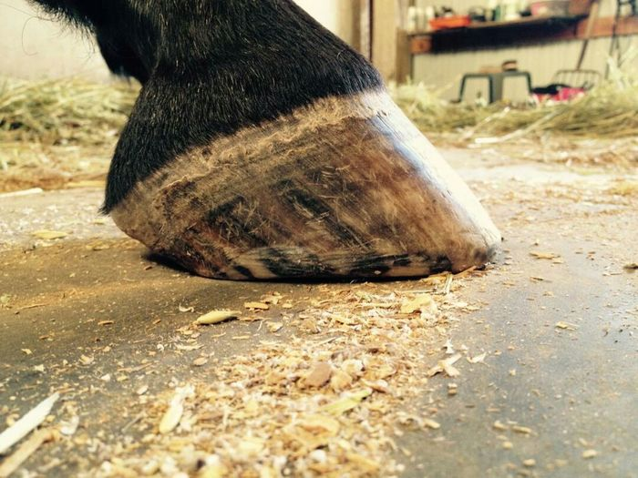 Our Morgan Horse, the Hoof of the Mare in the Barn