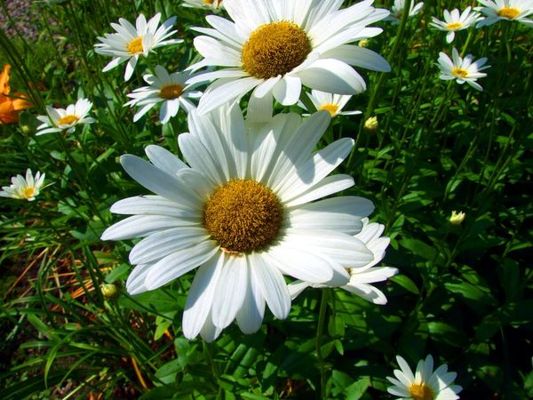 Two daisies in the sunshine Daisies Daisy Daisy Flower Shasta Daisy Shasta Daisies Beauty In Nature Blooming Daisies Flowers Daisy Close Up Day Flower Flower Head Fragility Freshness Growth Nature No People Outdoors Petal Plant Shasta Daisy Flower Spring Summer White Color