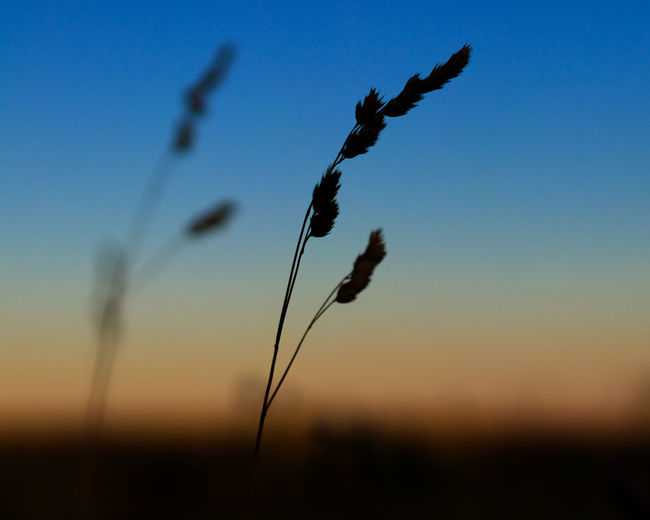 Beauty In Nature Clear Sky Close-up Environment Field Focus On Foreground Growth Land Nature No People Outdoors Plant Plant Stem Siberia Silhouette Sky Stalk Sunset Tranquil Scene Tranquility