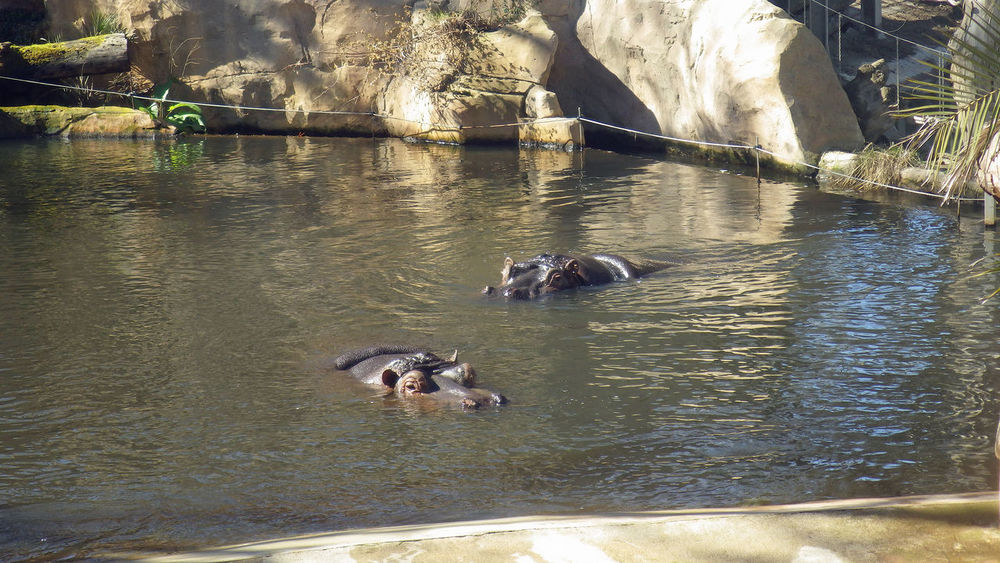 Hippos swimming in zoo Hippopotamus Amphibious Animal In Water Animal Photography Animal Themes Hippo Hippos In The Water Nilpferd Animals In Water Animal In Water EyeEmNewHere