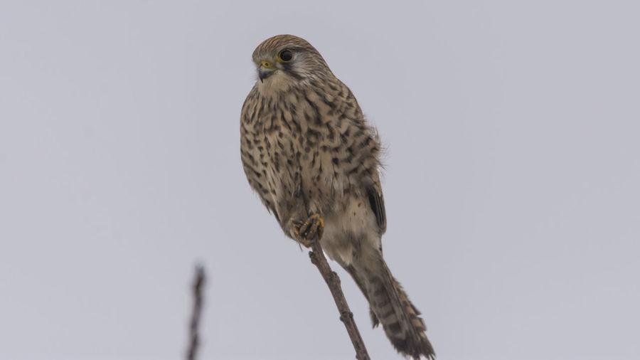 Close-up of hawk on twig