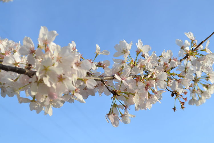 Low angle view of apple blossoms in spring against clear blue sky