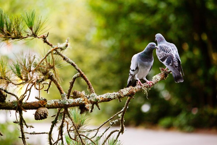 Two pigeons on tree branch Pigeon Bird  Pigeons Animal Wildlife Animals In The Wild Bird Animal Themes Animal Vertebrate Tree Focus On Foreground Plant Perching No People Branch Nature Day Outdoors Group Of Animals Beauty In Nature Water Two Animals