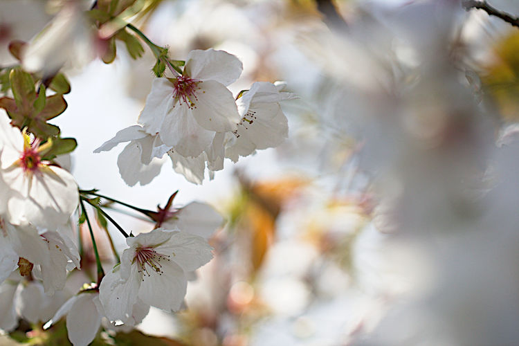 Almond Tree Beauty In Nature Blossom Branch Close-up Day Flower Flower Head Fragility Freshness Growth Nature No People Outdoors Petal Plum Blossom Springtime Tree Twig