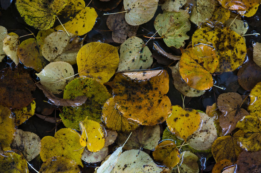Autumn Collection Autumn Leaves Autumn Autumn🍁🍁🍁 Beauty In Nature Close-up Freshness Leaf Leaves Nature Outdoors Water Wet Wet Day Yellow