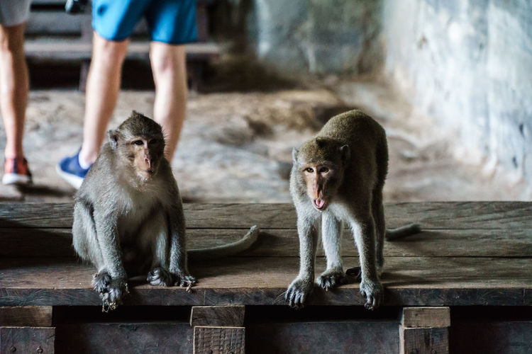 Angkor Wat Animals Better Together Monkeys Temple Two Is Better Than One