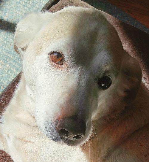 Oh, those eyes 😄❤🐶 Dog Doggy Labrador Yellowlab MySweetBoy Thatsmydog Love Mustlovedogs Thoseeyes Lookathiseyes Canine Companion Canine Pets Pets Corner Petsarefamily Check This Out Filtered