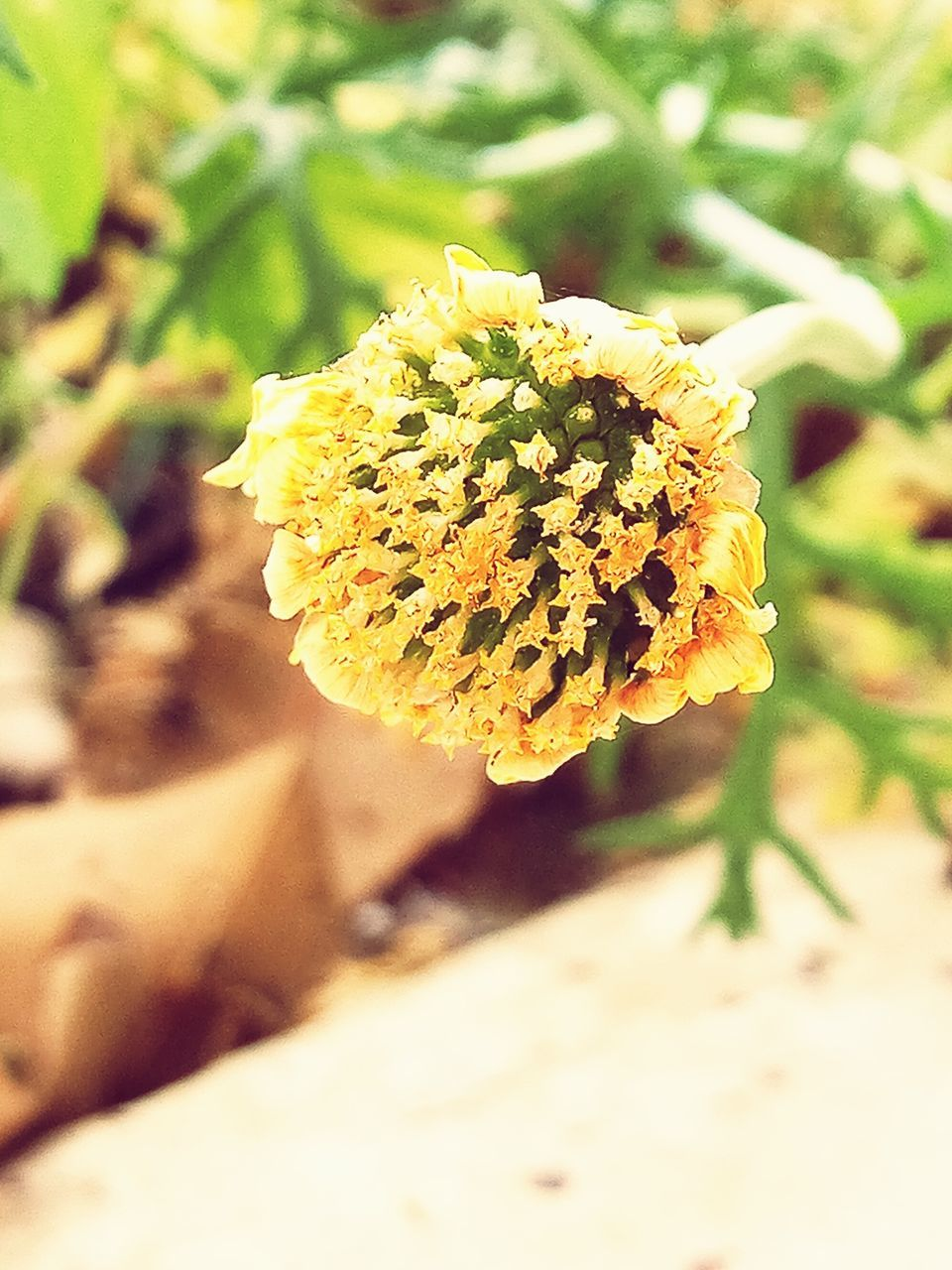 flower, nature, beauty in nature, fragility, growth, plant, yellow, day, outdoors, flower head, petal, no people, freshness, close-up