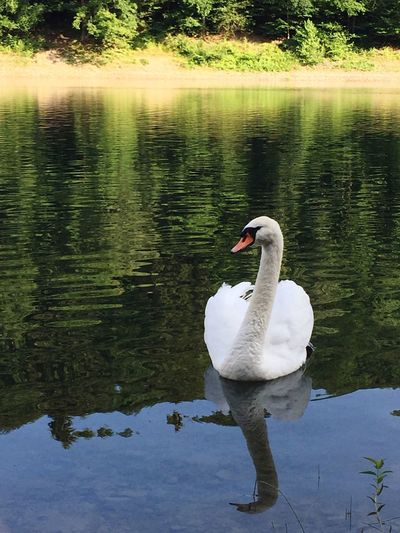 Lake Animals In The Wild Swan One Animal Animal Themes Reflection Gerrits White Color Water Nature Swimming Animal Wildlife Water Bird Day Outdoors No People Beauty In Nature Tree